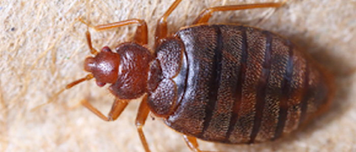 Bed Bug Control Mawson Lakes
